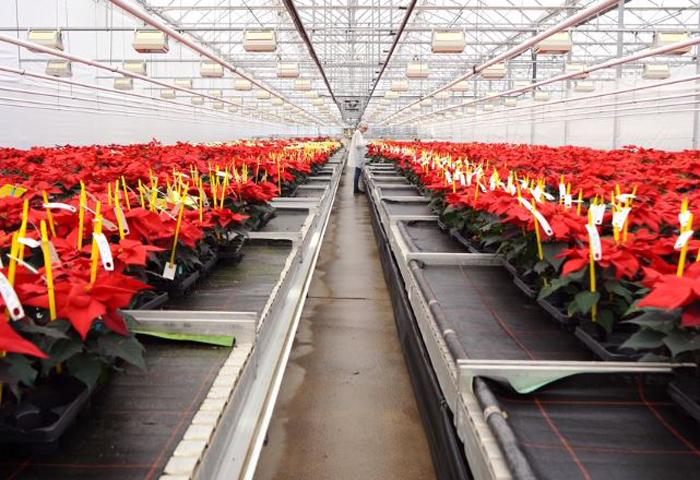 Beruf Gärtner/in - Anne und die Poinsettien